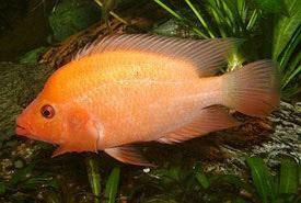 Amphilophus citrinellus Amphilophus citrinellus Midas cichlid Tropical Fish Diszhalinfo