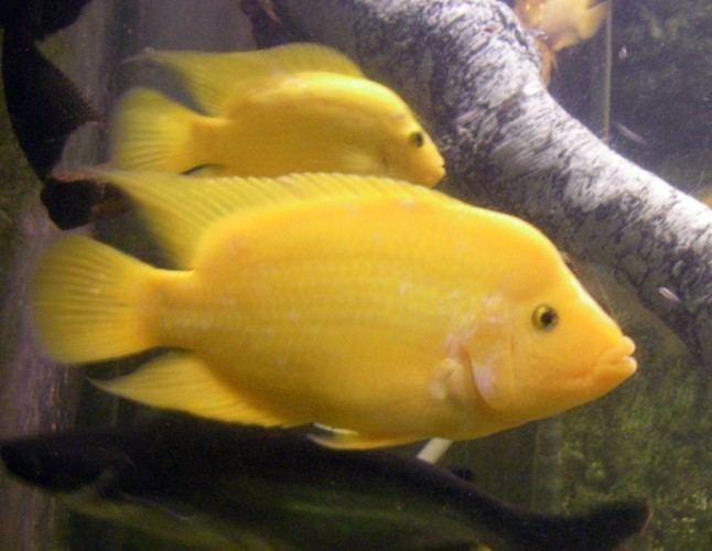 Amphilophus citrinellus Midas Cichlids Amphilophus citrinellus ZooChat