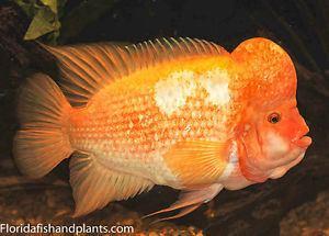 Amphilophus labiatus 3 Amphilophus labiatus Red Devil cichlid 15 inch Live Fish FULLY