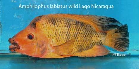 Amphilophus labiatus Amphilophus citrinellus vs Amphilophus labiatus
