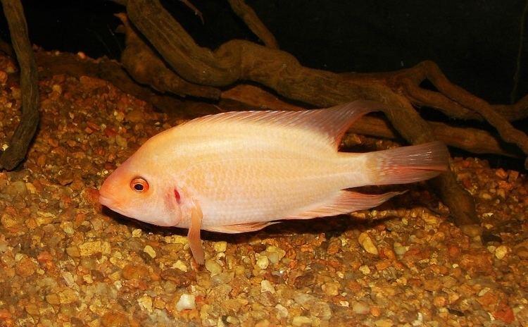 Amphilophus labiatus Amphilophus labiatus Red Devil Seriously Fish