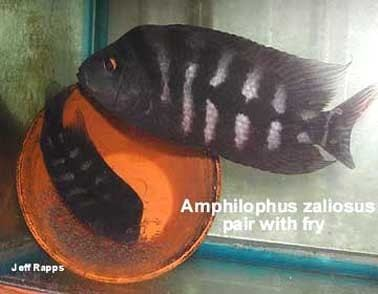 Amphilophus zaliosus Tangled Up in