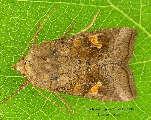 Amphipoea fucosa www2nrmseensvenskafjarilaraimagesamphipoea