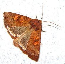 Amphipoea lucens httpsuploadwikimediaorgwikipediacommonsthu