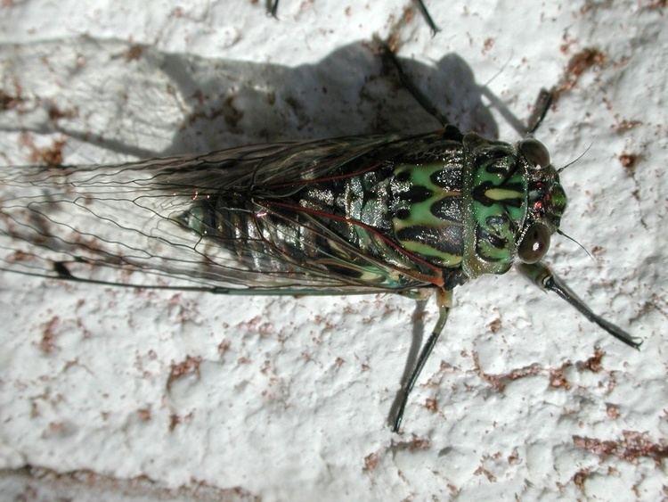 Amphipsalta zelandica httpsuploadwikimediaorgwikipediacommons44