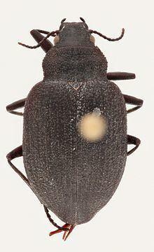 Amphizoa httpsuploadwikimediaorgwikipediacommonsthu