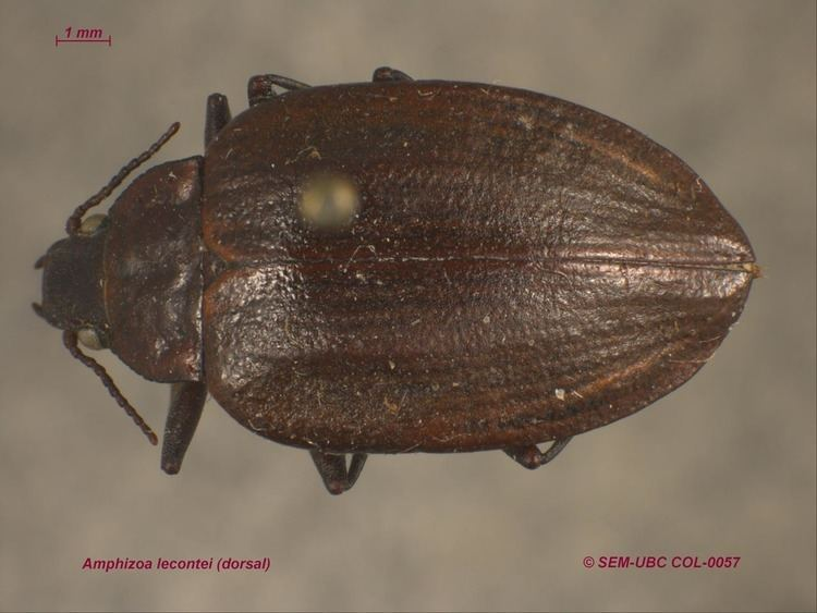 Amphizoa Amphizoidae