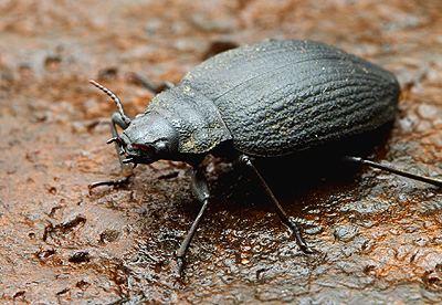 Amphizoa Friday Beetle Blogging Amphizoa troutstream beetle Myrmecos Blog