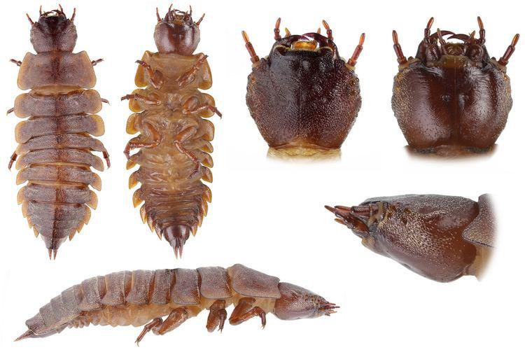 Amphizoa Amphizoa lecontei Amphizoa lecontei Coleoptera Amphizoid A