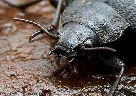Amphizoa Amphizoa insolens BugGuideNet
