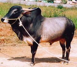 Amrit Mahal Amritmahal Dairy Knowledge Portal