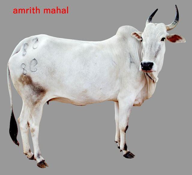 Amrit Mahal FileAmrit Mahaljpg Biodiversity of India A Wiki Resource for