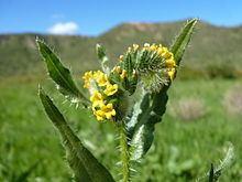 Amsinckia calycina httpsuploadwikimediaorgwikipediacommonsthu