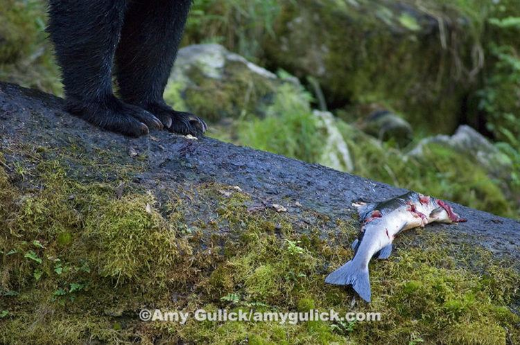 Amy Gulick WILDSpeak 2016 Amy Gulick Author Of Salmon In The Trees