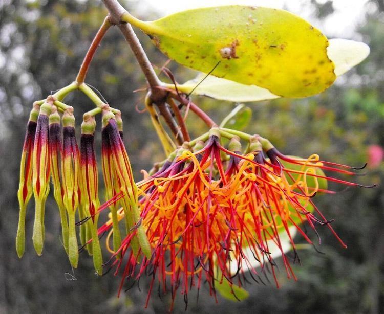 Amyema lepidopterabutterflyhousecomauplantsloraamye