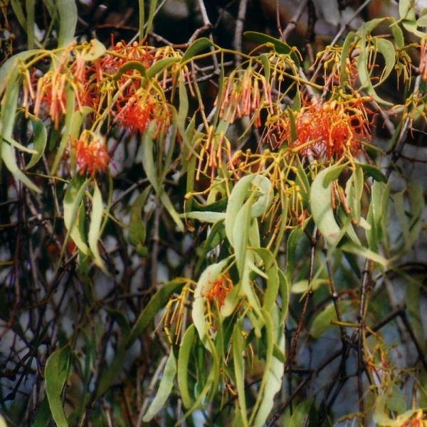 Amyema Amyema miquelii Noosa39s Native Plants