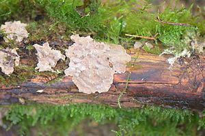 Amylostereum chailletii httpsuploadwikimediaorgwikipediacommonsthu
