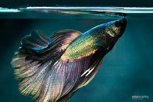 Anabantoidei fish f Air Breathing Labyrinth Fish Freshwater fish of