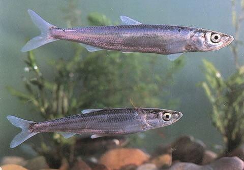 Anabarilius wwwfishbaseorgimagesspeciesAngrau0jpg