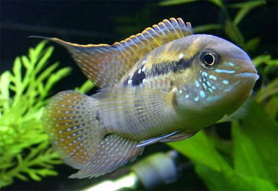 Anabas All About Family of Aquarium Fish Anabantidae Ctenopoma