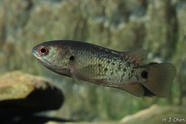 Anabas testudineus Anabas testudineus Climbing Perch Seriously Fish