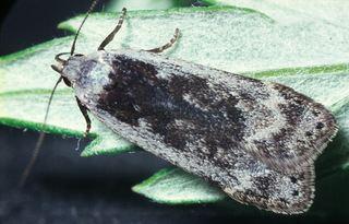 Anacampsis Anacampsis populella Sallow Leafroller Moth Discover Life