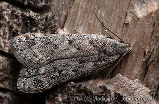 Anacampsis insectaproimages3204722jpg