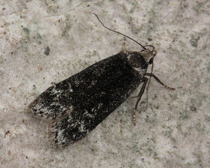 Anacampsis Hants Moths 35012 Anacampsis blattariella