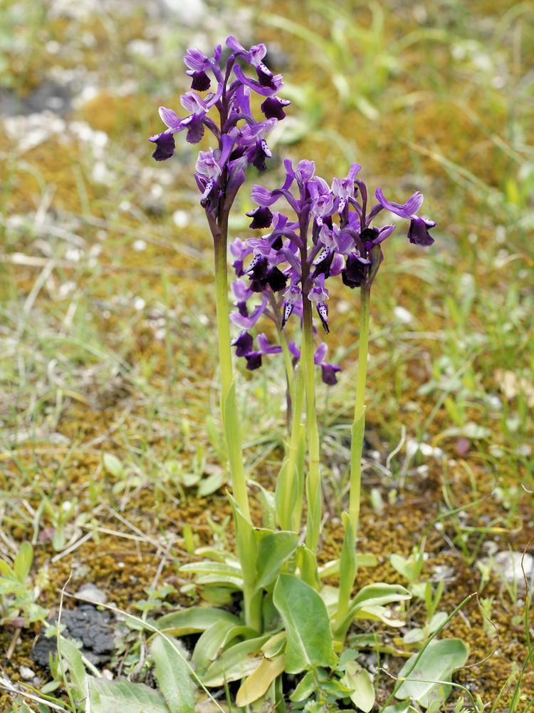 Anacamptis FileAnacamptis longicornu plantsjpg Wikimedia Commons