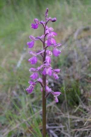 Anacamptis Anacamptis longicornu Longspurred Orchid identification