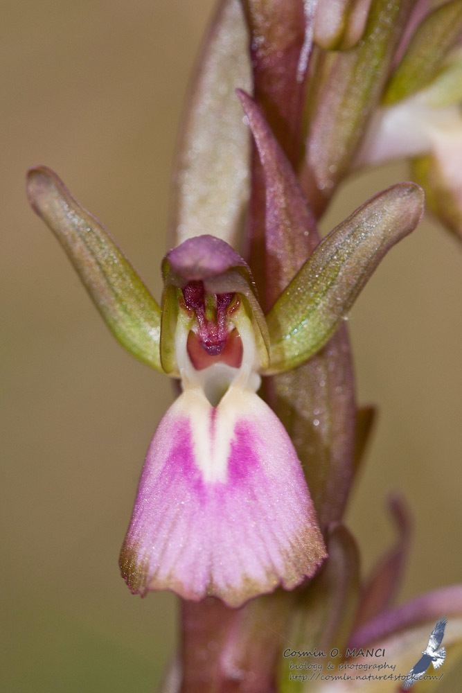 Anacamptis collina Orchis collina Banks amp Sol ex Russell