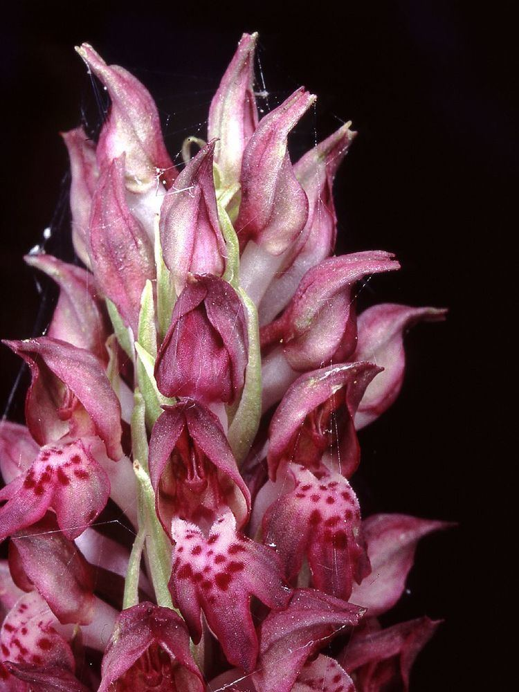 Anacamptis coriophora Wantsenorchis Wikipedia