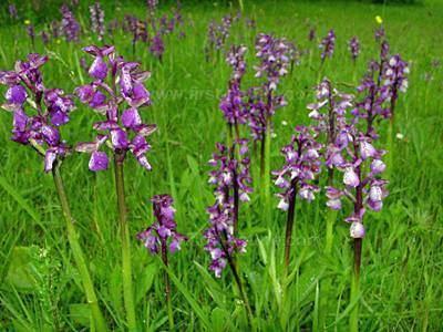 Anacamptis morio Anacamptis morio Greenwinged Orchid identification distribution