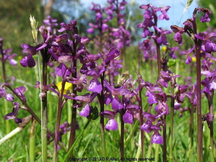 Anacamptis morio Anacamptis morio Greenwinged Orchid Orchis morio photographs Debs