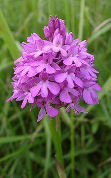 Anacamptis pyramidalis httpsuploadwikimediaorgwikipediacommonsthu
