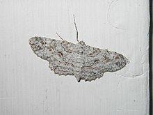 Anacamptodes defectaria httpsuploadwikimediaorgwikipediacommonsthu