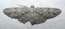 Anacamptodes fragilaria httpsuploadwikimediaorgwikipediacommonsthu