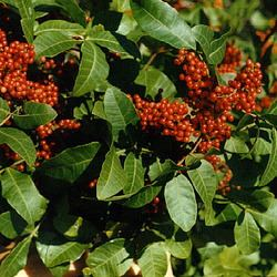 Anacardiaceae Ornamental Shrubs Anacardiaceae Exporter from Dehradun