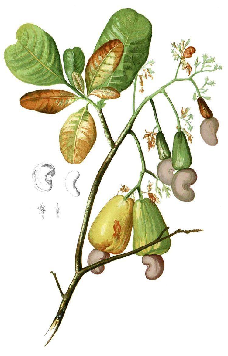 Anacardiaceae httpsuploadwikimediaorgwikipediacommons44