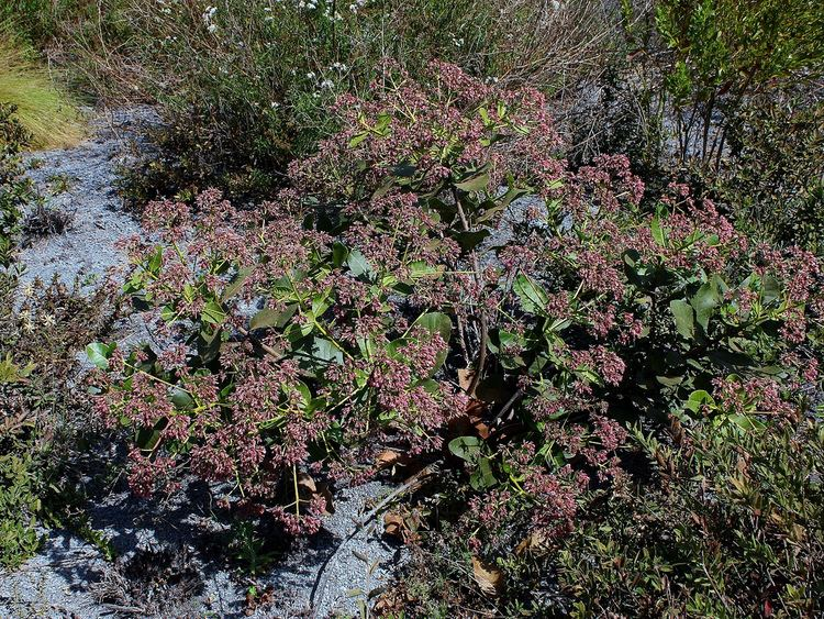 Anacardium humile Anacardium humile Anacardium humile AStHil ANACARDIACE Flickr