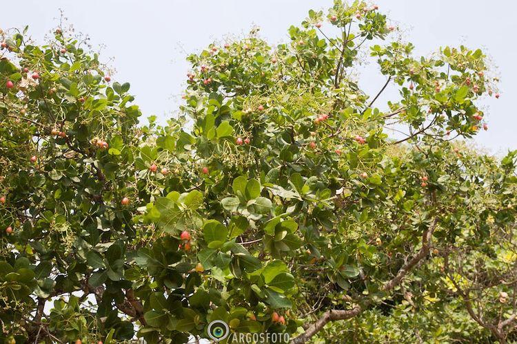 Anacardium humile Anacardium humile Argosfoto