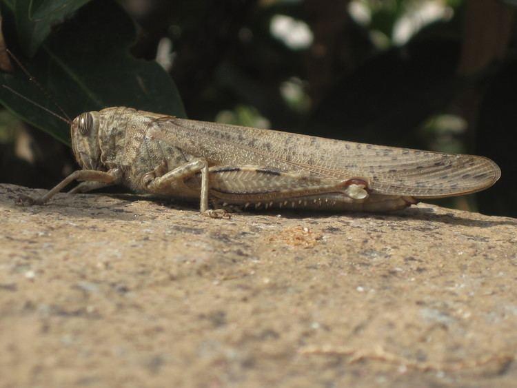 Anacridium aegyptium FileAnacridium aegyptium Egyptian Locust Skala Kalloni Lesbos