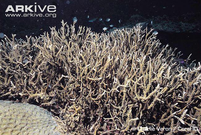 Anacropora Anacropora coral videos photos and facts Anacropora spinosa ARKive