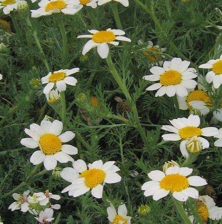 Anacyclus clavatus Wild Plants of Malta amp Gozo Plant Anacyclus clavatus White