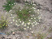 Anacyclus clavatus httpsuploadwikimediaorgwikipediacommonsthu
