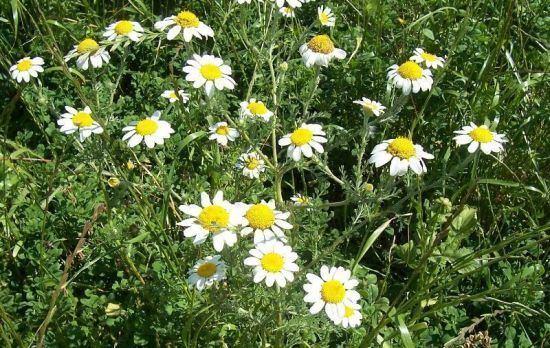 Anacyclus clavatus Anacyclus clavatus Desf Pers whitebuttons