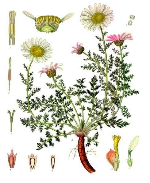 Anacyclus pyrethrum httpsuploadwikimediaorgwikipediacommons44