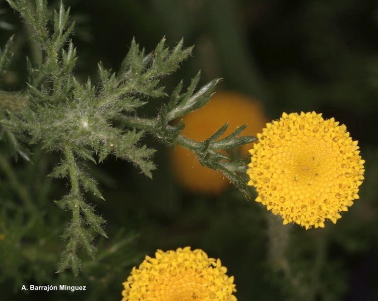 Anacyclus valentinus Naturaleza Viva Anacyclus valentinus L Fam Asteraceae