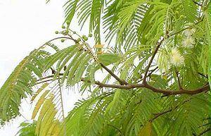 Anadenanthera Curupa Anadenanthera colubrina Details Encyclopedia of Life