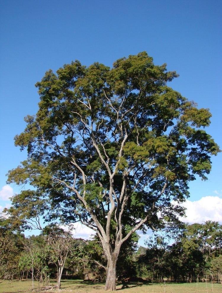 Anadenanthera httpsuploadwikimediaorgwikipediacommonsbb